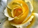 Rose Closeup f