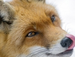 Cute fox II.