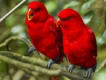 Lovely Red Parrots