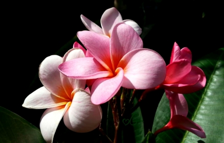 My September Plumeria - flower, plumeria, garden, nature, pink