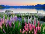 Lupins near lake Tekapo