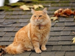 cat_fluffy_leaves_autumn_roof_