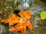 green-and-orange-leaf-in-creek-autumn-