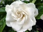Nice Gardenia F