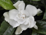 Cute Gardenia