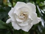 Symetrical Gardenia