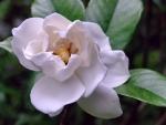 Gardenia f