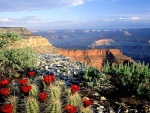 blooming cacti on the edge of the grand canyon