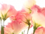 Lovely Pink Flowers