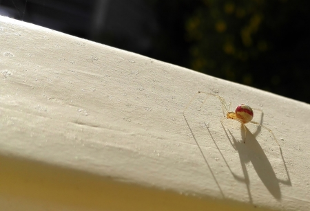 Red Striped Spider - Morning, Spider, Norway, White, Shadows