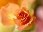 Peach Colored Rose F
