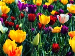 Colorful Tulips FC