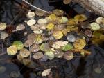 Aspenleaves in a stream