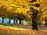 Maples in Fall Season