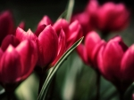 Red Tulips f