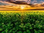 A canola filed outside of Cape Town