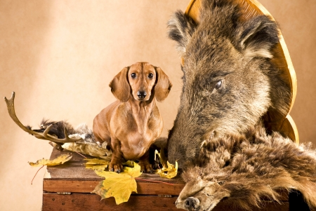 Dachshund Gone Hunting Dogs Animals Background Wallpapers On