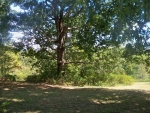 Big Tree Standing