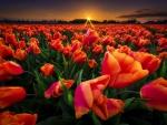 Poppy field at sunset