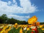 Poppy Meadow