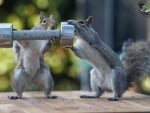 Do squirrels even lift?