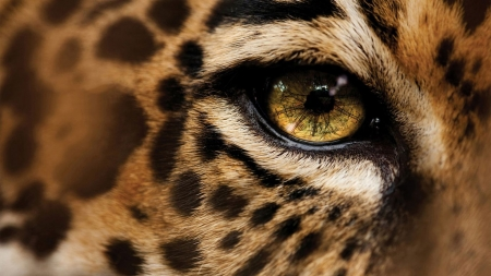Nimir-eye - leopard, eye, HD, wilderness, predators, wallpaper, macro, wild, close-up, wild cats, wildlife, nature, face, wild animals, big cats, animals