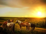 Horses at Sunset Field