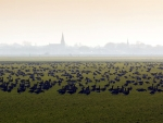 misty field filled with geese