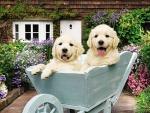 Cute puppies in wheelbarrow