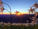 field of beautiful flowers at sunrise