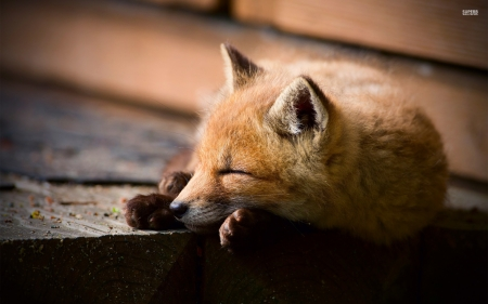 Sleeping Fox Other Amp Animals Background Wallpapers On