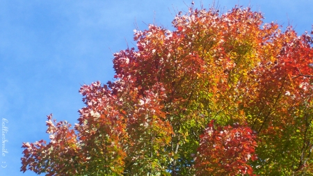 Autumn's Color Riot - Fall, red, orange, scarlet, yellow, leafs, sky blue, leaves, green, fa11, blue, cie1, maple, golden, trees, leaf, tree, Autumn