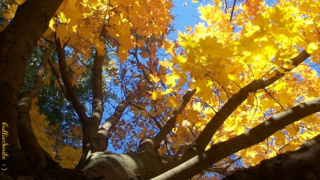Look Waaay Up for a Tree Hug! :D - Fall, cie1, maple, golden, yellow, trees, sky blue, leafs, leaf, tree, leaves, peaceful, golden yellow, fa11, Autumn, blue