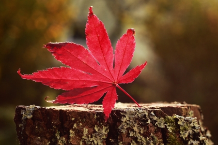 Autumn is Here - autumn, leaves, maple, nature, leaf
