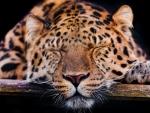 Sleeping predator