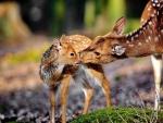 Deer Smelling Each Other