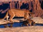 Cougar And Cubs