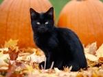 kitten and pumpkins
