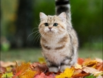 kitty in a fall leaves