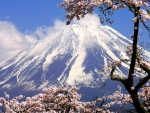mount fuji framed by cherry blossoms