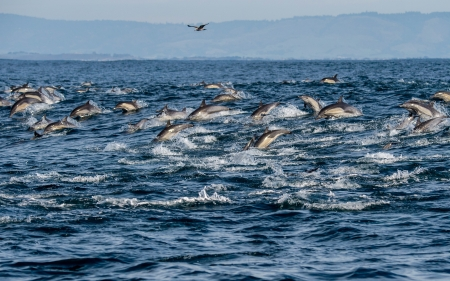 Herd of Common Dolphins in Monterey Bay, California - nature, dolphins, usa, animals