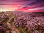 Heather in Full Bloom at Sunrise