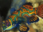 Dragonet Fish