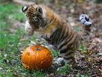 tiger cub with a pumpkin