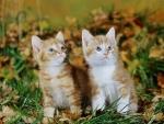 Two ginger kittens among fallen Oak leaves