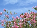 Oleander Tree Brisbane Australia