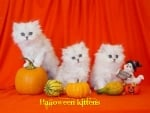 Cute white fluffy Halloween kittens