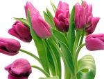 Drops on Purple Tulips