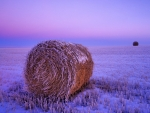 hay bales in a lavender winter