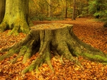Tree Stump, Virginia Water, Surrey, England